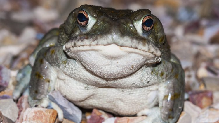 The Toad That Naturally Produces DMT